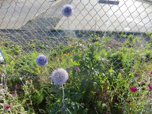 a bit of finger blight on the Echinops (blue globe thistle), as usual...