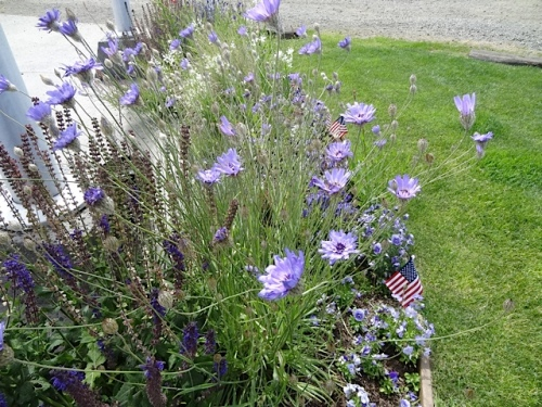 Catananche caerulea in Veterans Field