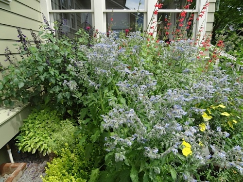 Another tour guest said she had never seen borage this tall.  (You can use the pretty little blue star shaped flowers as a garnish on soup or salad.)