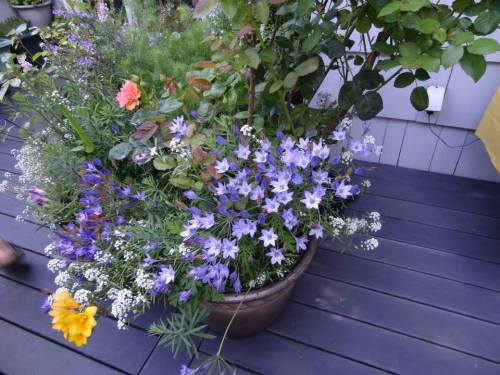 Brodiaea in deck container