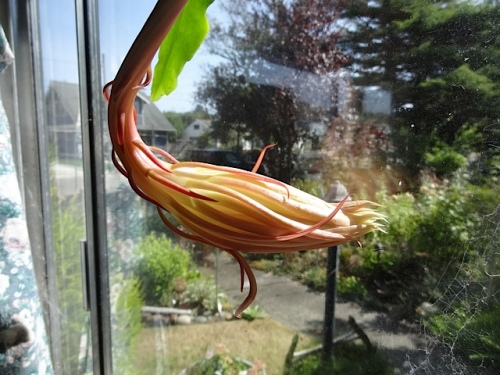 My night blooming cereus bud looked about the same and I wondered if it would open tonight.
