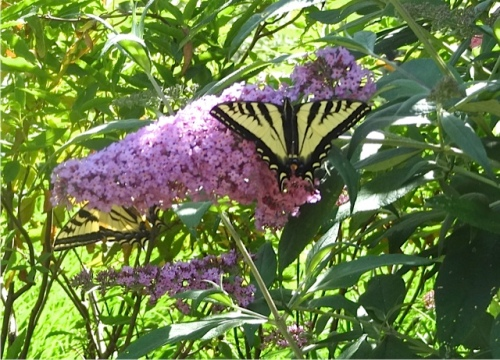 ...living up to its name, butterfly bush.