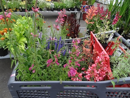I filled my cart with gallons sized penstemons and agastaches that were only about $6 each.