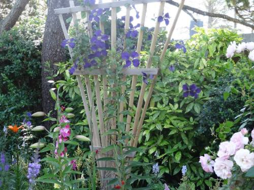 clematis in the cutting garden