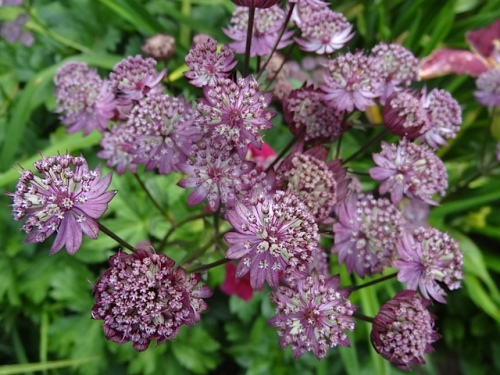 astrantia, closer