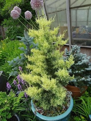 conifer2