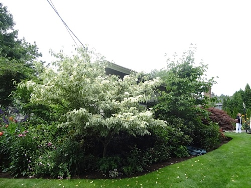 variegated dogwood at the corner