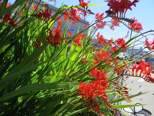 Tis the season of Crocosmia 'Lucifer'
