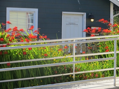 This area is tricky to get into because of the new railing, so we've let the Crocosmia totally take it over.
