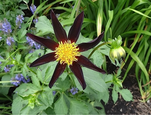 another starry dahlia