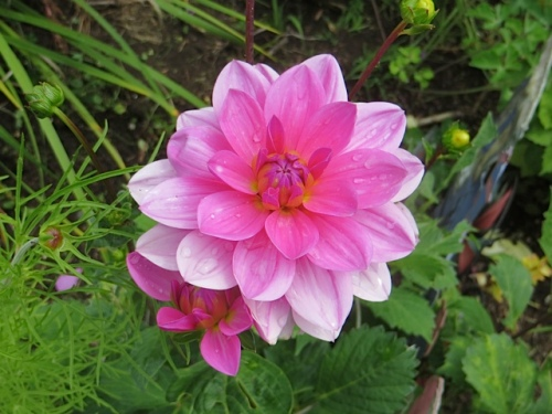 and another dahlia