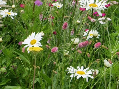 daisies and sanguisorba