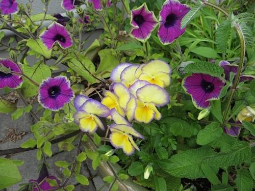 Petunia 'Pretty Much Picasso' and Viola 'Etain'