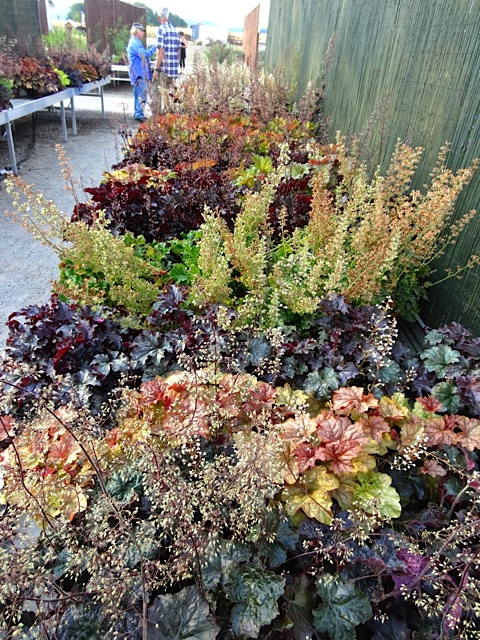 Heucheras (Allan's photo)