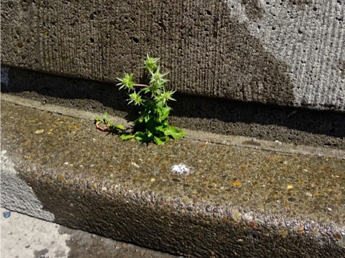 a reseeded Eryngium at the base of a planter (Allan's photo)