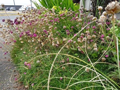 Allan's photo: deadheading Armeria maritima (sea thrift)