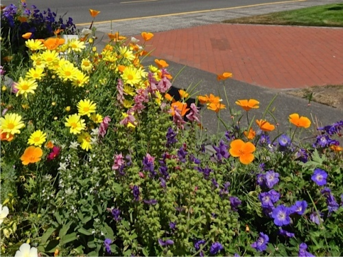 Allan's photo: planter by Fifth Street Park (east side) with Agyranthemum 'Butterfly'
