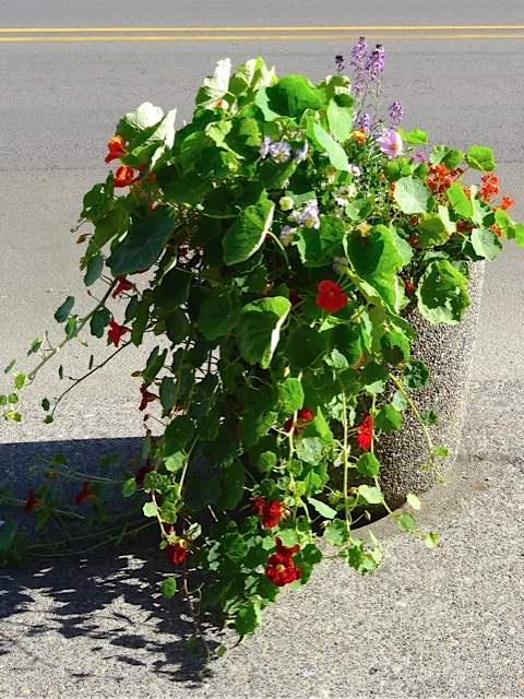 Planter by Queen La De Da's; Jenna gives it extra water, and deer don't stroll this street as much so the nasturtiums are monstrous.