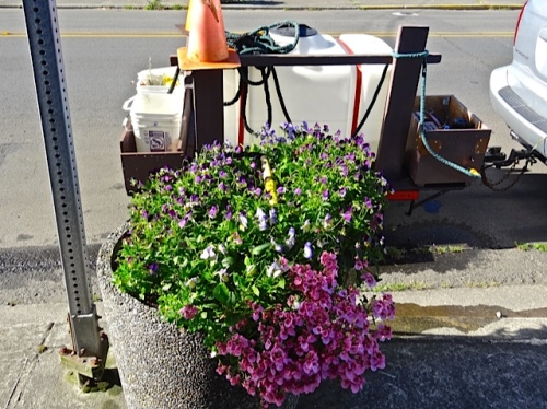 near Dr Bell's clinic, on Spruce.  Allan says this planter was a bit nibbled.