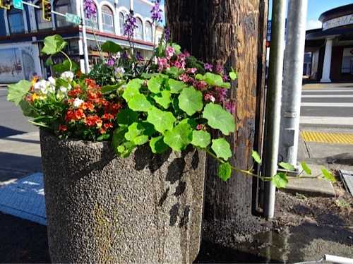 nasturtiums uneaten by the new Buoy 10 Café at First and Spruce