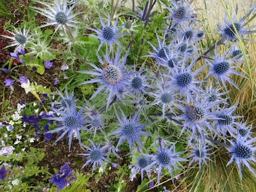 Eryngium 'Sapphire Blue' in the Veterans Field garden