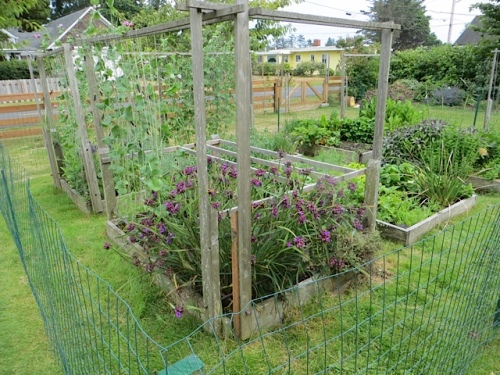 The fenced veg patch is chicken-proof...