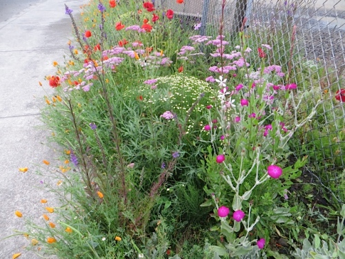 santolina, rose campion, achillea, poppies