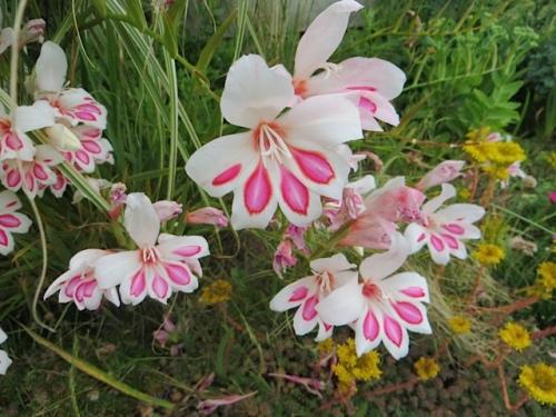 gladiolus nanus
