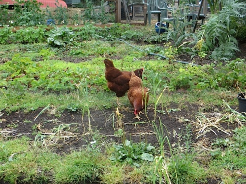 Nancy's chickens scritchy scratching around the garlic beds