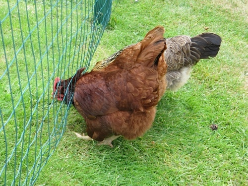 The hens WANT to get into the veg garden.
