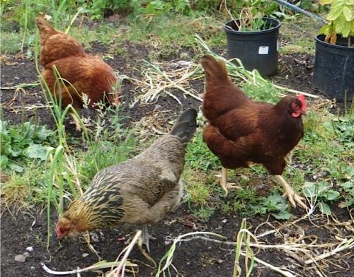 hens3