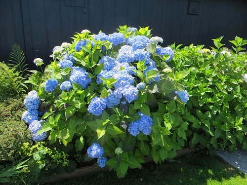 hydrangea in a city park