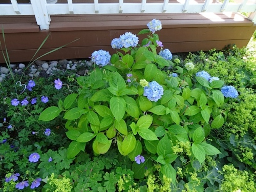 hydrangea in the cool shade on north side