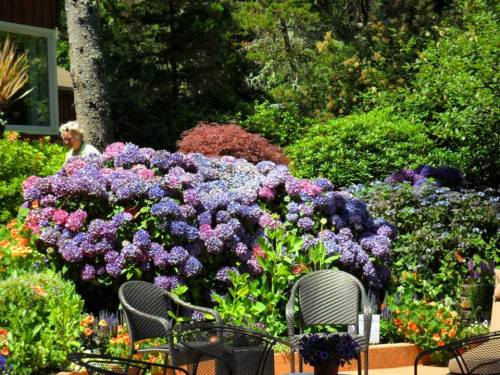 hydrangeas, photo by Kathleen Shaw