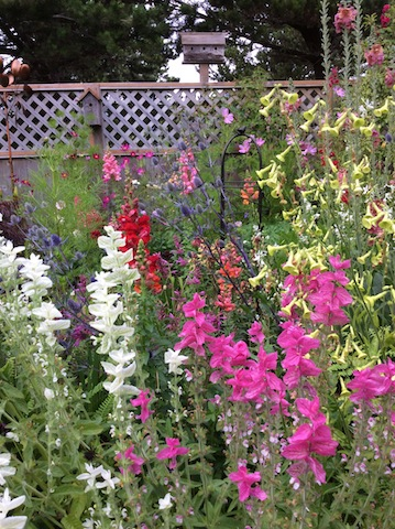 She says she's loving the snapdragons.  Foreground: Salvia viridis in pink and white.  Right: Nicotiana langsdorfii