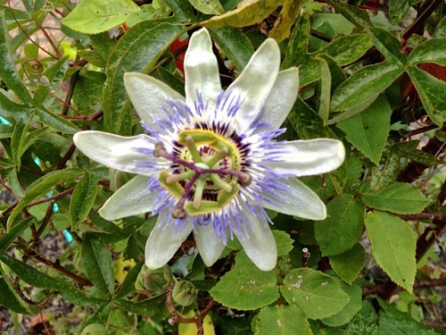 in the back garden: passion flower (Allan's photo)