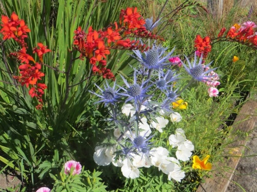 detail: Eryngium 'Sapphire Blue' and Crocosmia 'Lucifer' and godetia