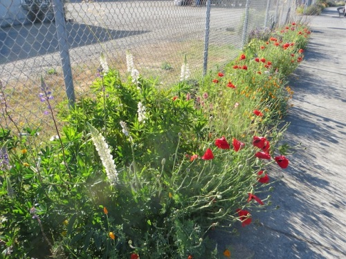 boatyard poppies and white lupine