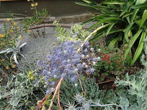 Eryngium 'Jade Frost'