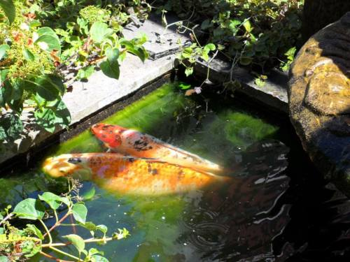 16 year old koi and friend (photo by Kathleen Shaw)