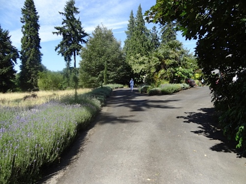 up the long driveway flanked with lavender