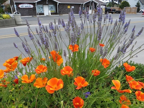 California poppies and lavender