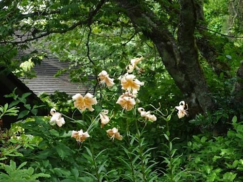 lilies4