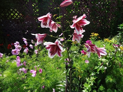 new lily this year
