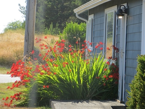 more Crocosmia down the block