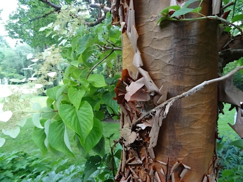 back to the paperbark maple
