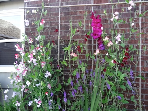 best sweet peas at any job this year