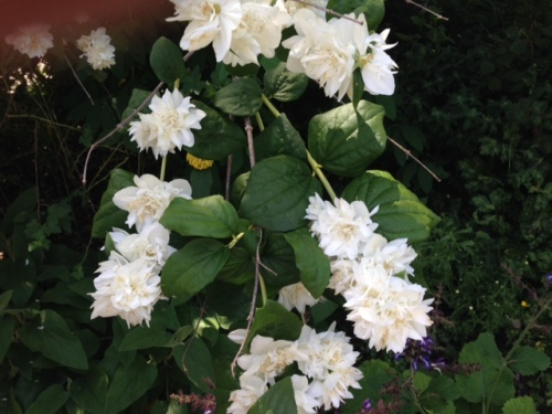 double flowering Philadelphus (mock orange)