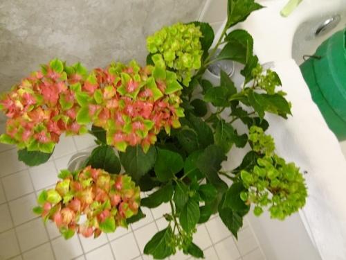Hydrangea 'Pistachio'