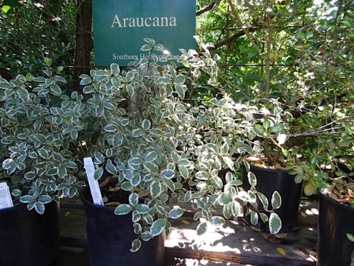 Pittosporum 'Marjorie Channon'.  I almost succumbed.